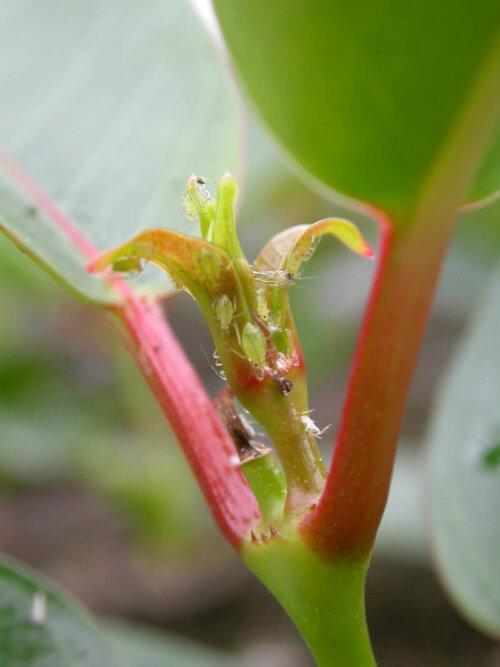 Blattläuse (Aulacorthum solani) bei Mandevilla (Dipladenia)