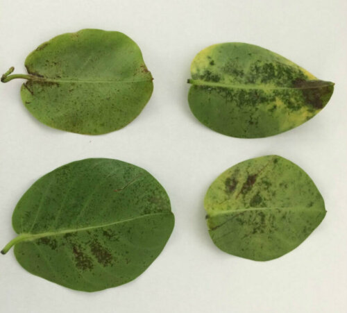 Infestation d'acariens au verso des feuilles chez la Dipladenia (Mandevilla)