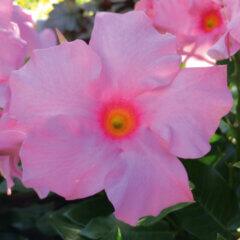 Mandevilla-Sorte: Diamantina Tourmaline Deep Rose