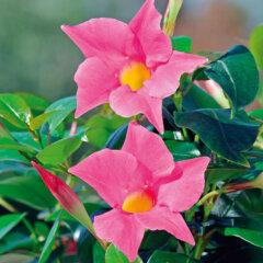 Mandevilla Sorte: Jade Pink