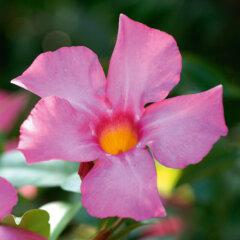 Mandevilla Sorte: Opale Fuchsia Flamme