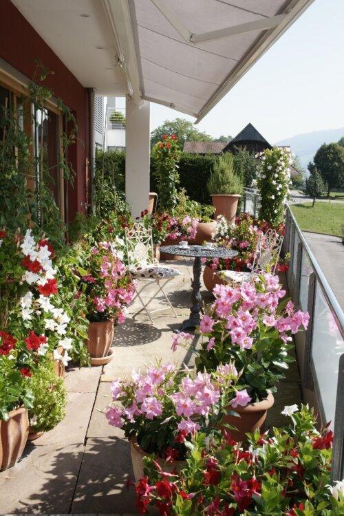 Terrassenbepflanzung mit diversen Mandevillas (Dipladenien)