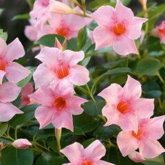 Mandevilla Sorte: Sundaville Cream Pink