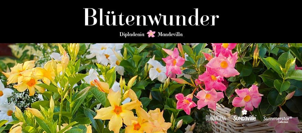 Diamantina Mandevilla – Blütenwunder