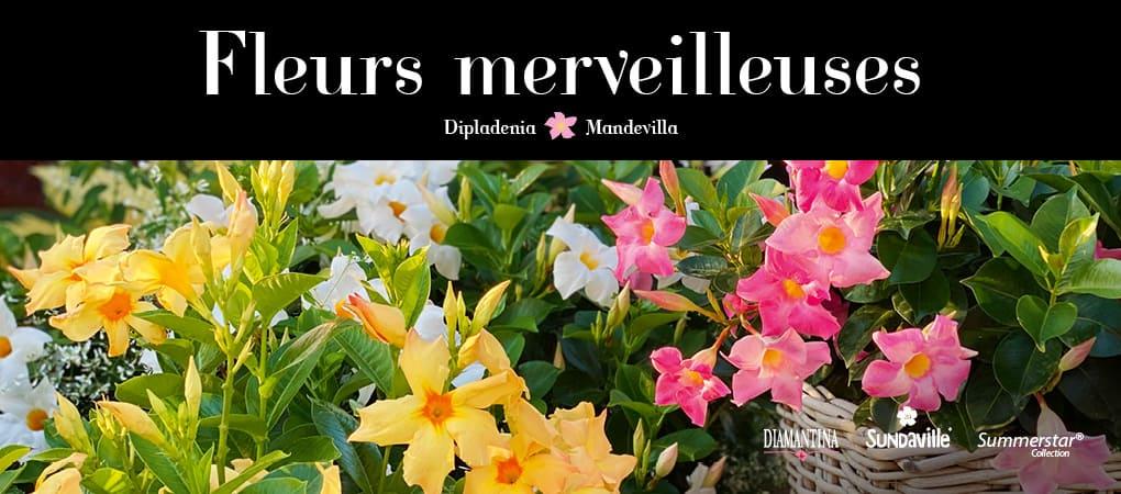 Diamantina Mandevilla – Les Mandevilla aux fleurs merveilleuses